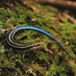 日本国内に生息するトカゲの種類と違い ニホントカゲ・カナヘビ・ヤモリ