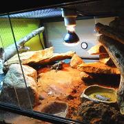 トカゲ(爬虫類)の大きさと飼育ケージの選び方