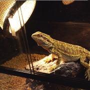 トカゲ(爬虫類)の日光浴とバスキング バスキングランプ(ライト)の距離・設置方法
