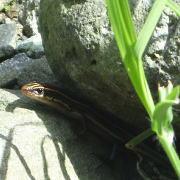 物陰に隠れるトカゲ