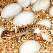 生まれたばかりのトカゲ