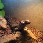 トカゲ(爬虫類)が好む最適な温湿度を保つ方法