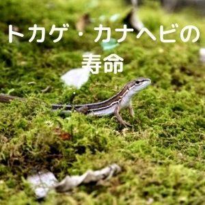 トカゲとカナヘビの寿命